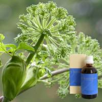 Дягиль в оливковом масле Archangelica aeth. 1 % in-Olivenöl, 100 ml