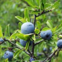 WALA Тёрн  5% в оливковом масле Prunus spin. e flor. 5 % in Olivenl, 100 ml