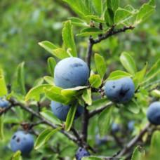 Масло WALA Тёрн  5% в оливковом масле Prunus spin. e flor. 5 % in Olivenl, 100 ml