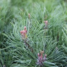 WALA Пиния 5% в оливковом масле Pinus pumilio aeth. 5 % in Olivenl, 100ml